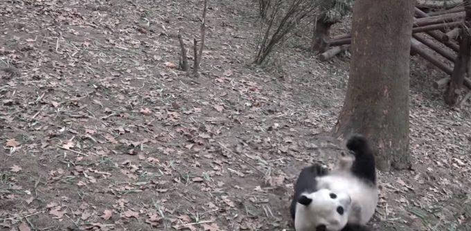 コロコロころがるパンダが可愛すぎる!