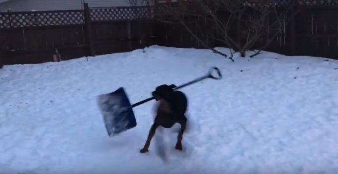 スコップを咥えてグルグル回る犬