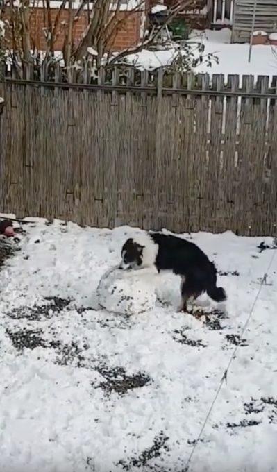 雪だるまを作る犬の動画