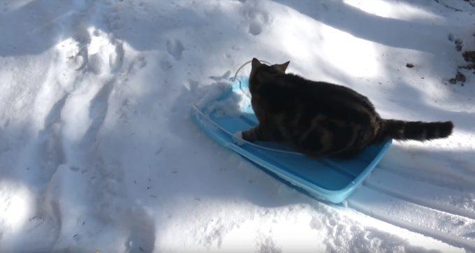 ソリで雪遊びする猫