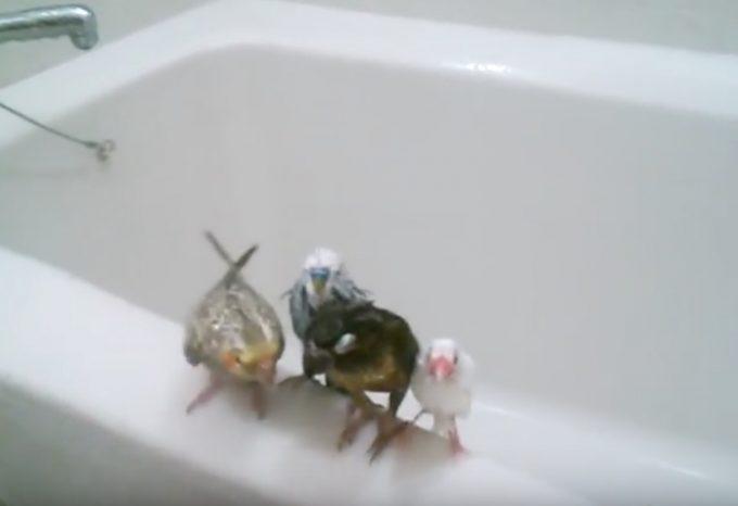 お風呂場で小鳥たちが仲良くシャワーを浴びるおもしろ動画