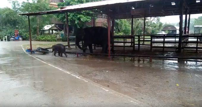 可愛すぎる!水たまりに大はしゃぎな子ゾウの動画