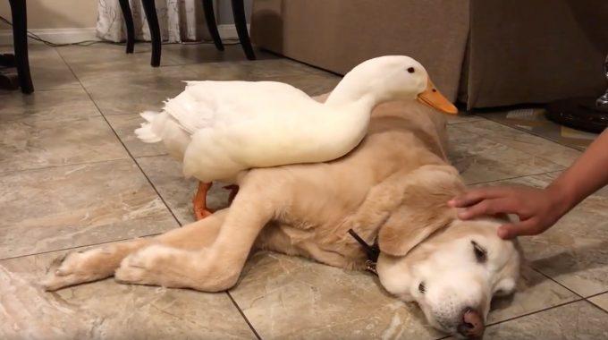 犬に触るとヤキモチを妬く何だか可愛いアヒルの動画