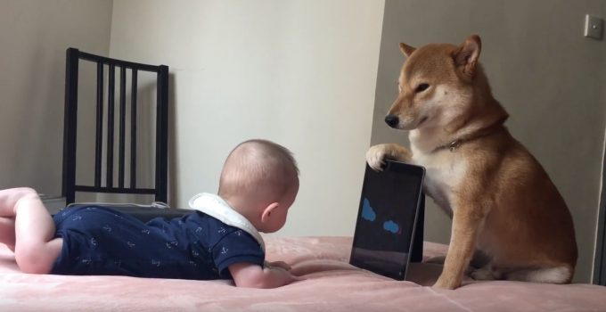 赤ちゃんにタブレットを見せてあげている健気な犬