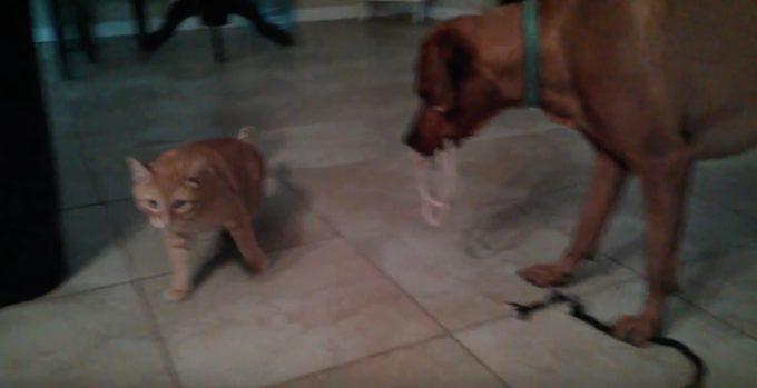 ロープで猫を釣ろうとする犬と気まぐれな猫