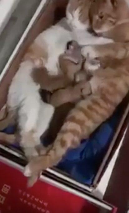 可愛い我が子に囲まれた幸せそうな猫夫婦の動画