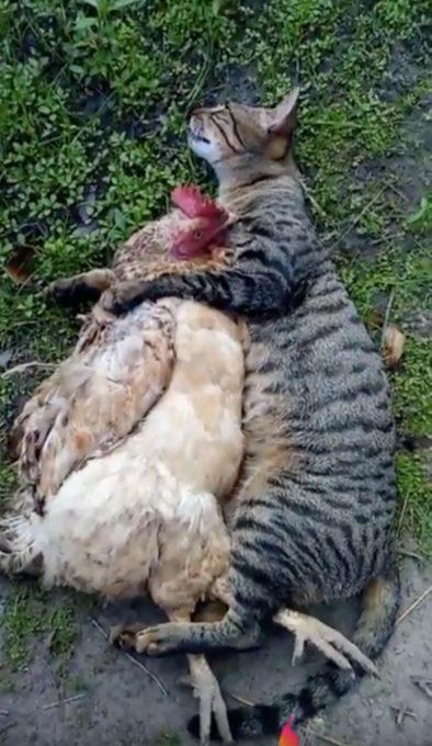猫に抱き枕にされているニワトリの動画